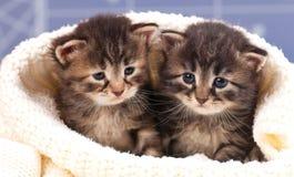 χαριτωμένα γατάκια λίγα Στοκ εικόνα με δικαίωμα ελεύθερης χρήσης