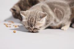 Χαριτωμένα γατάκια πεινασμένα Στοκ Φωτογραφίες