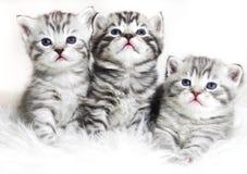 Χαριτωμένα γατάκια σε ένα άσπρο υπόβαθρο Όμορφο babi γατακιών βελούδου Στοκ Εικόνες