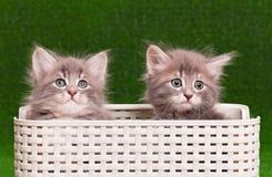 Χαριτωμένα γκρίζα γατάκια Στοκ Φωτογραφία