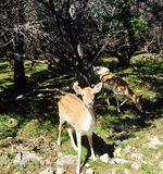 χαριτωμένα ελάφια στον απολιθωμένο ζωολογικό κήπο άγριας φύσης πλαισίων Στοκ Φωτογραφία