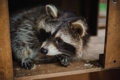 Χαριτωμένα ζώα δράσης προσώπου ρακούν Στοκ εικόνα με δικαίωμα ελεύθερης χρήσης
