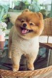 Χαριτωμένα κατοικίδια ζώα, λίγο pomeranian χαμόγελο σκυλιών Στοκ Εικόνες