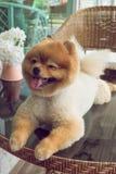 Χαριτωμένα κατοικίδια ζώα, λίγο pomeranian χαμόγελο σκυλιών Στοκ εικόνες με δικαίωμα ελεύθερης χρήσης
