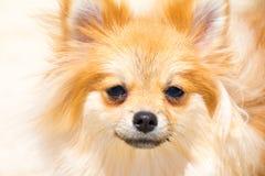 Χαριτωμένα κατοικίδια ζώα σκυλιών κουταβιών pomeranian στο σπίτι, Στοκ Φωτογραφίες