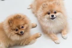 Χαριτωμένα κατοικίδια ζώα σκυλιών κουταβιών pomeranian Στοκ Εικόνες