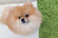 Χαριτωμένα κατοικίδια ζώα σκυλιών κουταβιών pomeranian Στοκ εικόνα με δικαίωμα ελεύθερης χρήσης