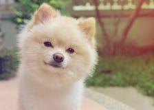 Χαριτωμένα κατοικίδια ζώα σκυλιών Pomeranian μικρά φιλικά στο σπίτι Στοκ Φωτογραφία