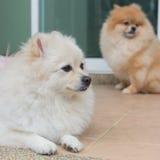 Χαριτωμένα κατοικίδια ζώα σκυλιών Pomeranian μικρά φιλικά Στοκ Εικόνες