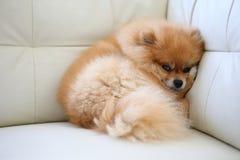 Χαριτωμένα κατοικίδια ζώα σκυλιών Pomeranian που κοιμούνται στον άσπρο καναπέ δέρματος Στοκ εικόνα με δικαίωμα ελεύθερης χρήσης