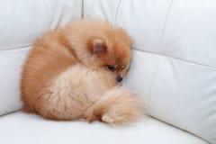 Χαριτωμένα κατοικίδια ζώα σκυλιών Pomeranian που κοιμούνται στον άσπρο καναπέ δέρματος Στοκ Φωτογραφία