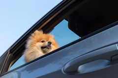 Χαριτωμένα κατοικίδια ζώα σκυλιών Pomeranian στο αυτοκίνητο Στοκ φωτογραφία με δικαίωμα ελεύθερης χρήσης