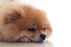 Χαριτωμένα κατοικίδια ζώα σκυλιών Pomeranian στο σπίτι Στοκ Εικόνες
