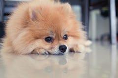 Χαριτωμένα κατοικίδια ζώα σκυλιών Pomeranian στο σπίτι Στοκ εικόνα με δικαίωμα ελεύθερης χρήσης