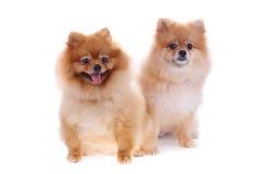 Χαριτωμένα κατοικίδια ζώα σκυλιών Pomeranian Στοκ Φωτογραφία