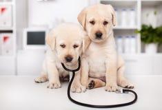Χαριτωμένα κουτάβια του Λαμπραντόρ με το στηθοσκόπιο στον κτηνιατρικό γιατρό στοκ φωτογραφίες