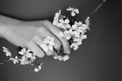 Χαριτωμένα λουλούδια του κερασιού στα χέρια Στοκ Εικόνα