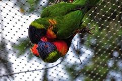 Χαριτωμένα πουλιά αγάπης στο ειδύλλιο Στοκ Φωτογραφίες