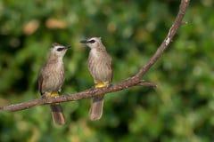 Χαριτωμένα πουλιά ζεύγους που σκαρφαλώνουν στη φύση Στοκ εικόνες με δικαίωμα ελεύθερης χρήσης