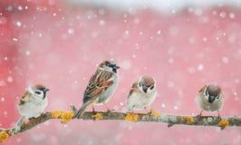Χαριτωμένα πουλιά που κάθονται στον κλάδο κατά τη διάρκεια χιονοπτώσεων Στοκ φωτογραφία με δικαίωμα ελεύθερης χρήσης