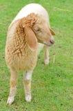χαριτωμένα πράσινα πρόβατα πεδίων Στοκ Φωτογραφίες