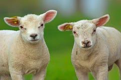 χαριτωμένα πρόβατα Στοκ φωτογραφία με δικαίωμα ελεύθερης χρήσης