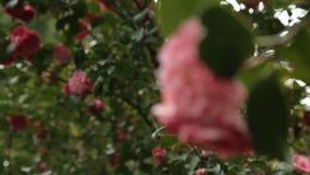 Χαριτωμένα ρόδινα λουλούδια που ανθίζουν στα δέντρα που δίνουν το λεπτό ευώδες άρωμα, βοτανικός κήπος φιλμ μικρού μήκους