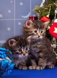 Χαριτωμένα σιβηρικά γατάκια Στοκ φωτογραφίες με δικαίωμα ελεύθερης χρήσης