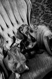 χαριτωμένα σκυλιά δύο Στοκ εικόνα με δικαίωμα ελεύθερης χρήσης