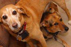 χαριτωμένα σκυλιά δύο Στοκ φωτογραφία με δικαίωμα ελεύθερης χρήσης