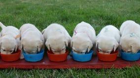 Χαριτωμένα σκυλιά κουταβιών του Λαμπραντόρ που τρώνε από τα κύπελλά τους - παιδί που τακτοποιεί τους απόθεμα βίντεο