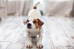 Χαριτωμένα τεντώματα σκυλιών Στοκ Εικόνα