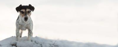 Χαριτωμένα υπάκουα ist του Jack Russell standig σε έναν λόφο το χειμώνα και προς τα εμπρός στοκ φωτογραφίες με δικαίωμα ελεύθερης χρήσης