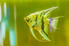 Χαριτωμένα ψάρια angelfish (Pterophyllum), ένα μικρό γένος του γλυκού νερού Στοκ φωτογραφία με δικαίωμα ελεύθερης χρήσης