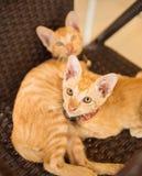 Χαριτωμένα δύο γατάκια shorthair που κοιτάζουν επίμονα περίεργα στον άνθρωπο Στοκ εικόνα με δικαίωμα ελεύθερης χρήσης