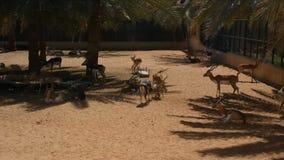 Χαριτωμένα deers που παίζουν μαζί στην έρημο κάτω από έναν φοίνικα απόθεμα βίντεο