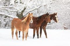 Χαριτωμένα foals στο χιονισμένο λιβάδι Στοκ Εικόνα