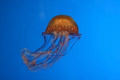 χαριτωμένα jellyfish Στοκ φωτογραφία με δικαίωμα ελεύθερης χρήσης