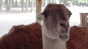 Χαριτωμένα llamas που τρώνε τα λαχανικά κοντά επάνω φιλμ μικρού μήκους