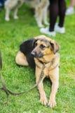Χαριτωμένα metis του σκυλιού από το καταφύγιο με την ελπίδα και την υπομονή που περιμένουν το καινούργιο ιδιοκτήτη και θα έχει το στοκ φωτογραφία με δικαίωμα ελεύθερης χρήσης