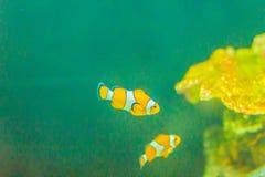 Χαριτωμένα ocellaris clownfish (ocellaris Amphiprion), επίσης γνωστά ως τ Στοκ Εικόνες