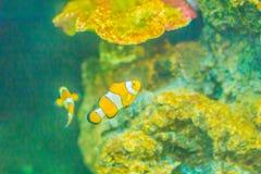 Χαριτωμένα ocellaris clownfish (ocellaris Amphiprion), επίσης γνωστά ως τ Στοκ φωτογραφίες με δικαίωμα ελεύθερης χρήσης
