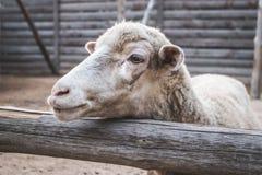 Χαριτωμένα wooly πρόβατα που στέκονται πίσω από τον ξύλινο φράκτη Κατοικίδιο ζώο στοκ φωτογραφίες