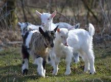 Χαριτωμένες αίγες μωρών στοκ εικόνες