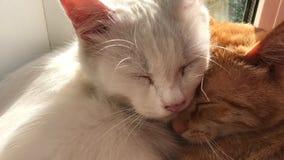 Χαριτωμένες γάτες ύπνου απόθεμα βίντεο