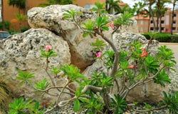 Χαριτωμένες εγκαταστάσεις με τα ρόδινα λουλούδια και τους μεγάλους βράχους στο υπόβαθρο Στοκ Εικόνες
