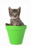 Χαριτωμένες 5 ηλικίας τιγρέ εβδομάδες γατών μωρών σε ένα πράσινο δοχείο λουλουδιών απομόνωσαν το ο Στοκ φωτογραφία με δικαίωμα ελεύθερης χρήσης