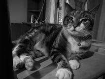 Χαριτωμένη ήρεμη μυστήρια γάτα σε γραπτό στοκ φωτογραφία