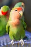 χαριτωμένη αγάπη πουλιών Στοκ Εικόνα