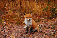 χαριτωμένη αλεπού Στοκ φωτογραφίες με δικαίωμα ελεύθερης χρήσης